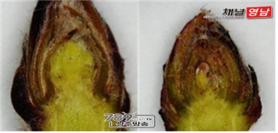 꾸미기_[기술보급과]사과 꽃눈 분화율 감소로 전정량 조절해야(사진 왼쪽은 꽃눈이 분화된 모습, 오른쪽은 잎눈이 분화된 상태) - 복사본.jpg
