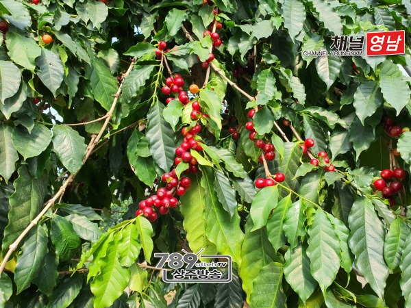 [미래농업과]붉은 커피 열매 수확 시작한 상주고을(잘익은 커피체리).jpg