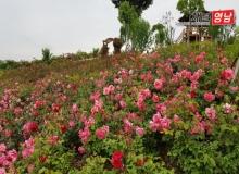 [상주]함창명주테마공원 100만송이 장미 활짝 꽃 피우다